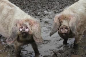 le-porc-blanc-failli-nous-jouer-un-tour-de-cochon_1