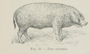 porc-craonnais